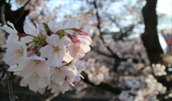 ラテキューブ名古屋 事務所からの桜